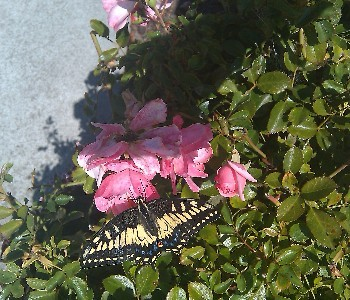 Anise Swallowtail in the Garden