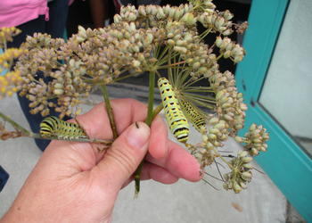 Anise Swallowtail Caterpillars